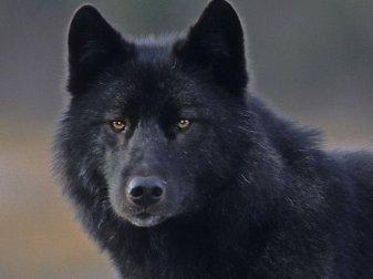 05-a-wolf-called-romeo-close-up-fsl